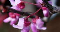 image of Cercis canadensis 'Forest Pansy'
