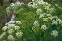 image of hemlock or conium