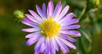 picture of aster