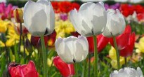 picture of tulipa