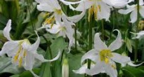 picture of erythronium