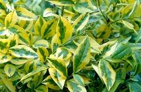 picture of ligustrum aureum