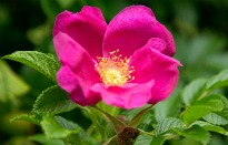 picture of rosa rugosa