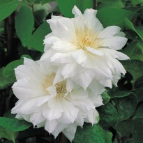 picture of clematis 'duchess of edinburgh'