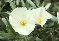picture of convolvulus cneorum