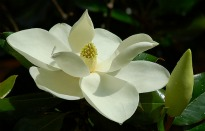 picture of magnolia grandiflora