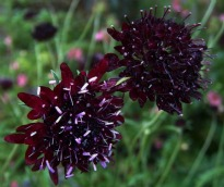 picture of Scabiosa atropurpureum 'Chile Black'