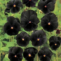 picture of Viola 'Black Beauty'