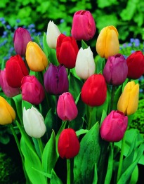 picture of mixed tulips