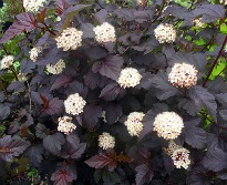 picture of Physocarpus opulifolius 'Diabolo'