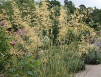 picture of Stipa gigantea