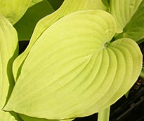 picture of Hosta 'August Moon'