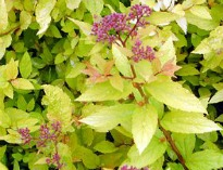 picture of Spiraea japonica 'Goldmound'