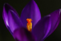 picture of Crocus Purpurea Grandiflora