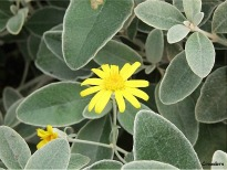 picture of Brachyglottis 'Sunshine'