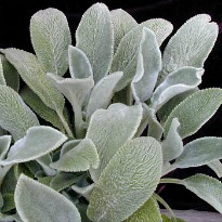 picture of Stachys byzantina 'Big Ears'