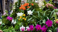 picture of cattleya hybrid orchids