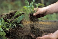 picture of root division by hand