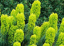 picture of euphorbia