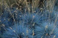 picture of Festuca glauca 'Elijah Blue'