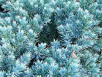 picture of juniperus squamata 'blue star'