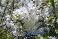 picture of wild cherry blossom