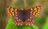 picture of Duke of Burgundy