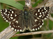 picture of Grizzled Skipper