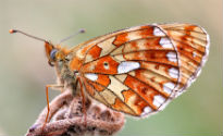 picture of Pearl-bordered Fritillary