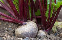 picture of beetroot