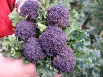picture of purple sprouting broccoli