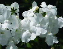 picture of Nemesia 'White Lagoon'