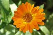 picture of calendula offinalis