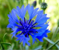 picture of centaurea cyaneus