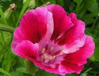 picture of godetia grandiflora