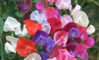 picture of lathyrus odoratus