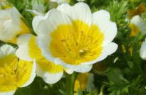 picture of limnanthes douglasii
