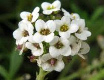 picture of lobularia maritima