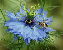 picture of nigella damascene