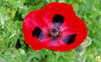 picture of papaver commutatum