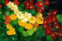 picture of tropaeolum majiis