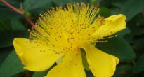 picture of Hypericum calycinum