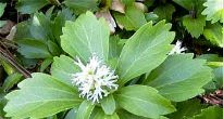picture of Pachysandra terminalis