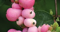 picture of Symphoricarpos