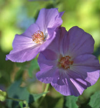 picture of abutilon suntense 'Jermyns'