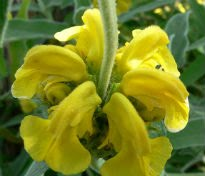 picture of phlomis fruticosa