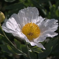 picture ofa romneya coulteri