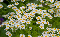 picture of feverfew