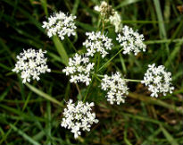 picture of pignut