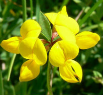 picture of bird's foot trefoil